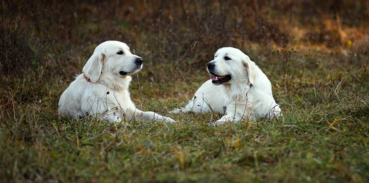 Golden and Labrador Retrievers